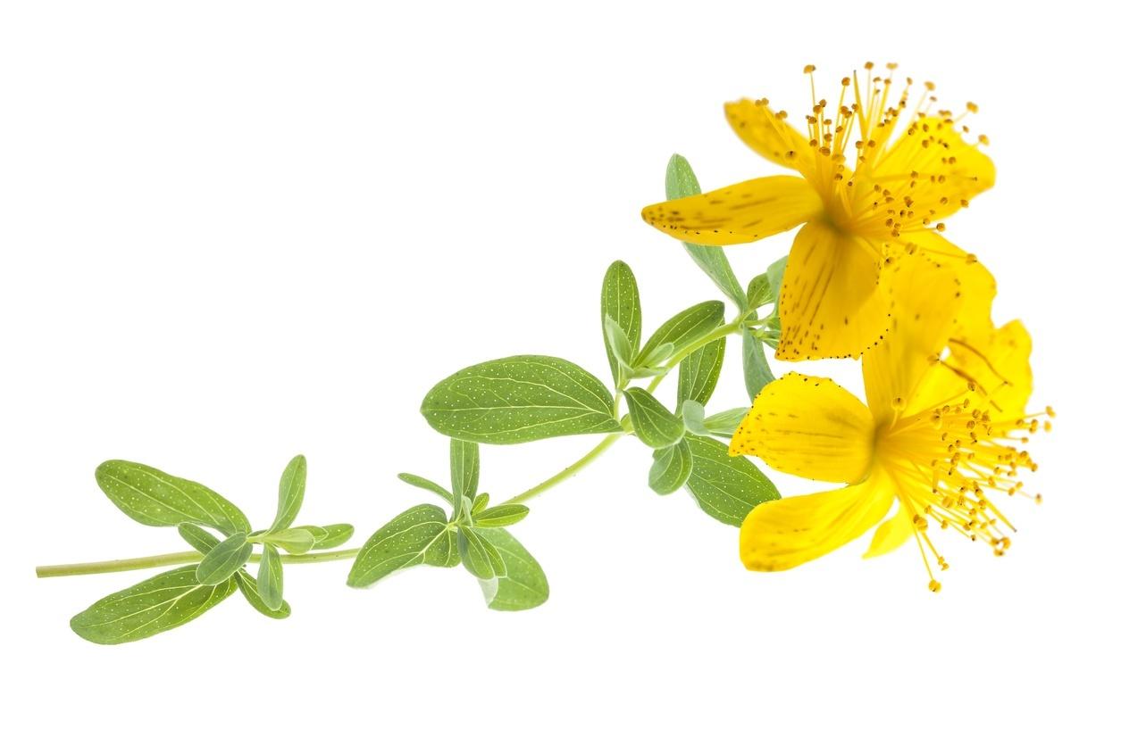 Květoucí nať třezalky tečkované