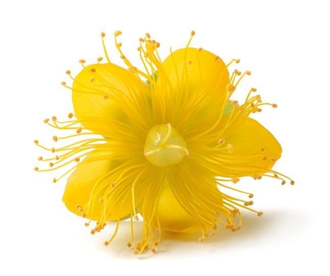 Květ třezalky tečkované